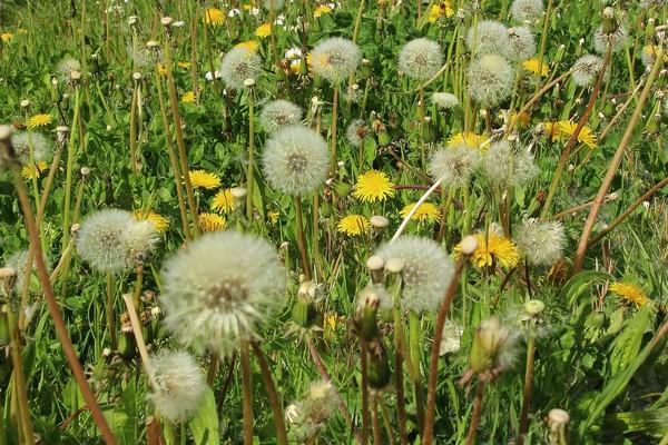 Pampeliška je častým alergenem
