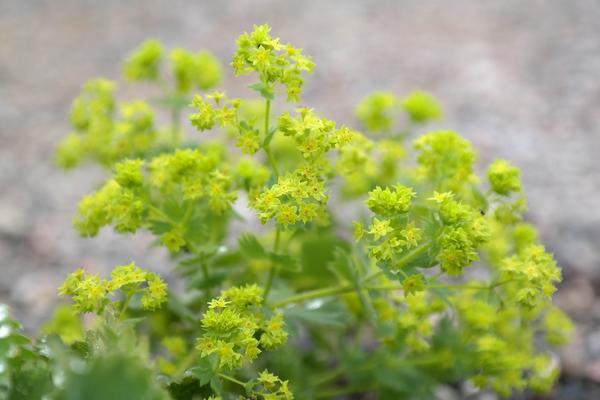 Kontryhel je nenápadná rostlinka, fungující jako všelék