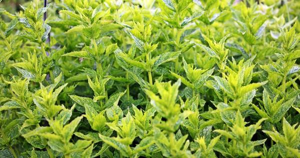 Zelená bylinka pomáhá se zdravotními obtížemi i při hubnutí