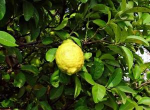 citron na strome