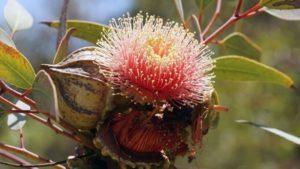 Eukalyptus patří mezi rostliny s výrazným a hojivým aromatem