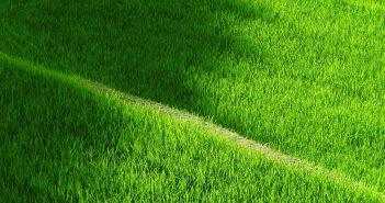 ryzove pole